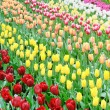 Flower bed of multicolored tulips — Foto Stock