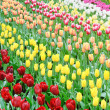 Flower bed of multicolored tulips — Stock Photo #12677519
