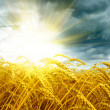 Golden sunset over wheat field — Stock Photo