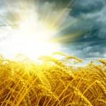 Golden sunset over wheat field — Stock Photo #12677520