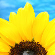 Close-up of sunflower - Stock Photo