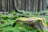 Large tree stump in summer forest — Stock Photo