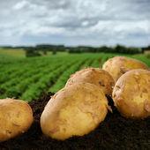 Bir alan üzerinde taze patates kazdık — Stok fotoğraf
