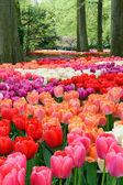 Blomma säng mångfärgade tulpaner — Stockfoto