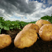 Freshly dug potatoes on a field — Stok fotoğraf