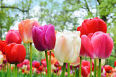 Multicolored tulips in a spring park — Stock Photo