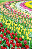 Flower bed of multicolored tulips — Stock Photo