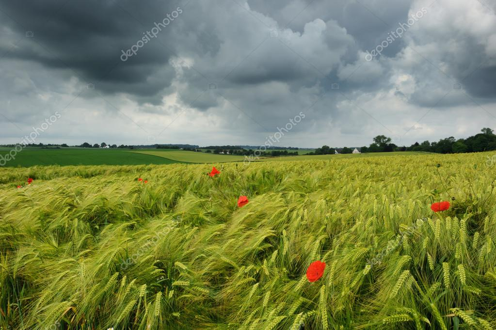 Wheat field with poppies at cloudy summer day — Stock Photo #12672637