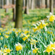 Forest covered with a daffodils carpet. Shallow DOF — Stock Photo