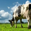 Cow in a field — Stock Photo #12727708