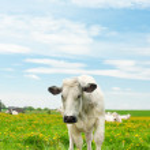 Cows in a dandelion field — Stock Photo