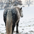 Dapple grey horse - Stok fotoraf