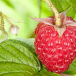 Fresh raspberry - Stock Photo