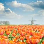 Red tulip field — Stock Photo #12727815