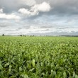 Sugar beet field - Stock Photo