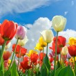 Multicolored tulips — Stock Photo