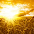 Golden sunset over wheat field — 图库照片