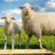 Mother sheep and her lamb - Stock Photo