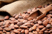 Cocoa beans and wooden scoop — Stock Photo