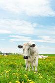 Koeien in een paardebloem veld — Stockfoto