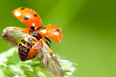 Ladybird flying away — Stock Photo