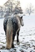 дапл серая лошадь — Стоковое фото