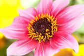 Dalia rosa — Foto Stock