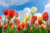Multicolored tulips — Stock Photo