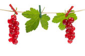 Redcurrant attached with clothespins — Stock Photo