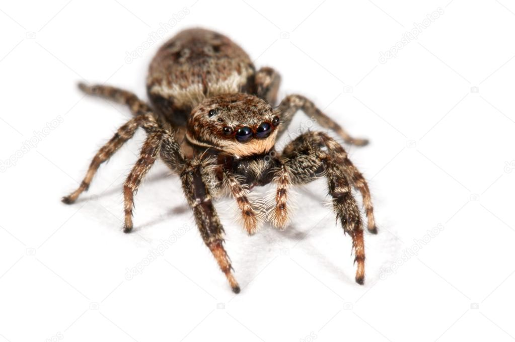 Spider isolated over white — Stock Photo #12727755