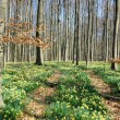 Forest covered with a daffodils carpet - Foto de Stock  