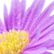 Royalty-Free Stock Photo: Close-up on purple mum flower