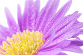Close-up on purple mum flower — Stock Photo