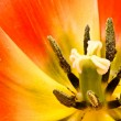 Tulip — Stock Photo