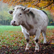 Cow with autumn landscape — Stock Photo