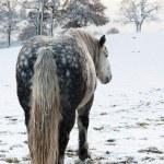 Dapple grey horse — Stock Photo