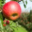 Red fresh apple on the branch — Stock Photo