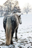 Dapple grey horse — Photo