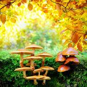 Yellow mushrooms in sunny autumn forest — Stock Photo