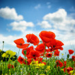 Poppies on summer field. Shallow DOF — Stock Photo