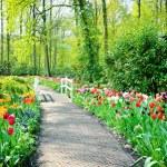 Multicolored tulips in Keukenhof Gardens — Stock Photo