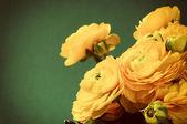 Yellow ranunculus flowers — Stock Photo