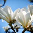 White magnolia flowers - Stock Photo