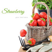 Fresh strawberry in a basket — Stock Photo