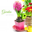 Pink hyacinth flower with bulb - Stok fotoğraf
