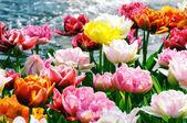 Colorful tulips — Fotografia Stock
