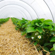 Stock Photo: Greenhouse for strawberry cultivation