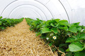 Greenhouse for strawberry cultivation — Stock Photo
