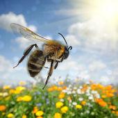 Abelha voando sobre o campo de flores coloridas — Foto Stock