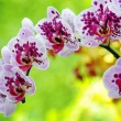 Closeup of purple orchid — Stock Photo